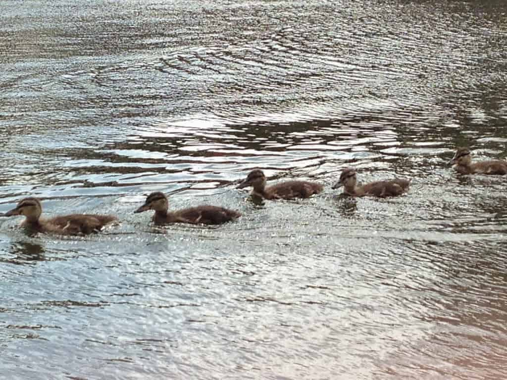 My Sunday Photo, A Row Of Ducklings