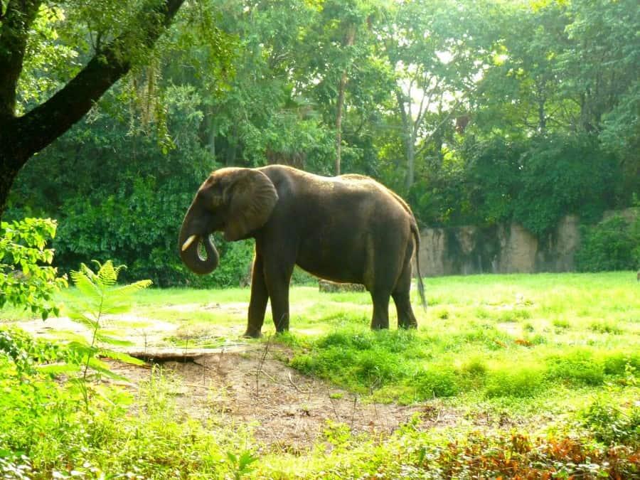 The stunning Elephants on Safari at Animal Kingdom, Walt Disney World