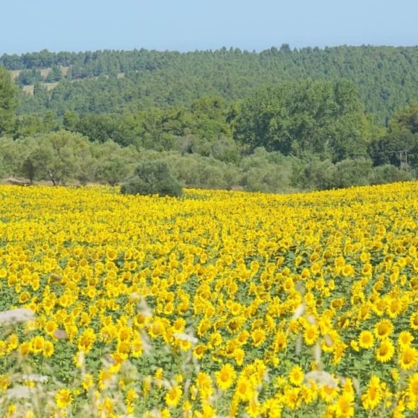 A Sunflower field in Halkidiki Greece. My Sunday Photo, extraordinarychaos.com