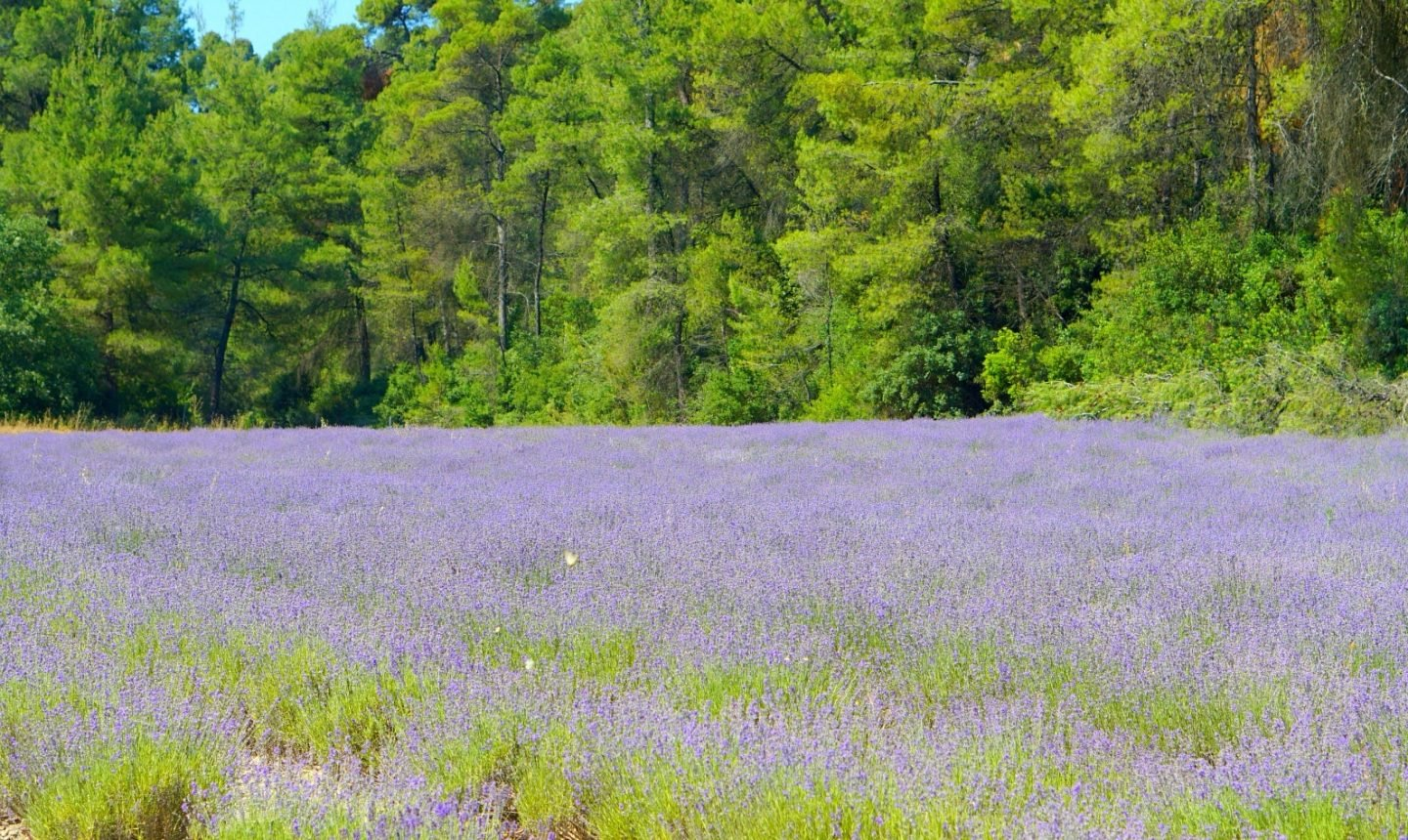 Lavender Fields in Halkidiki Greece extraordianrychaos.com