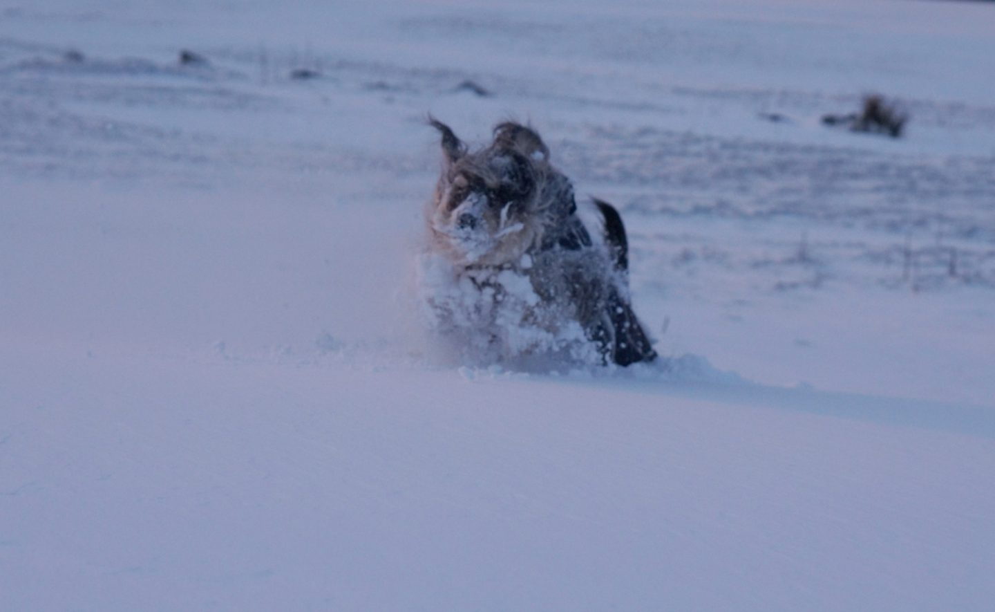 Dog in the snow Beast of the East www.extraordinarychaos.com