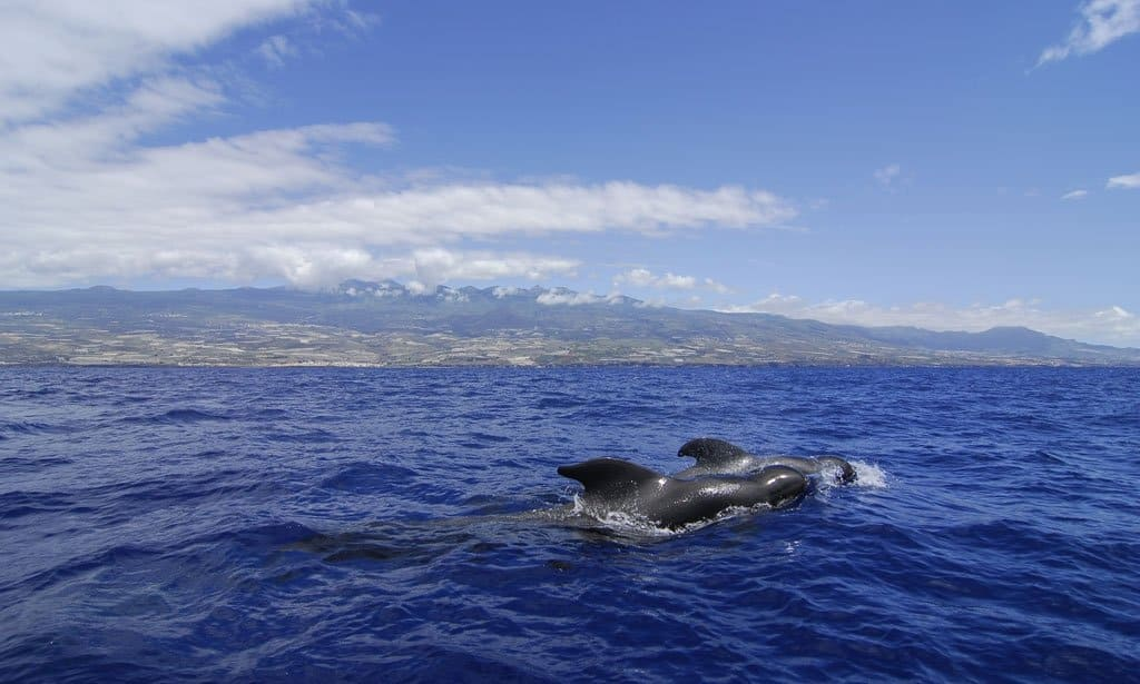 Dolphins in the wild in Tenerife