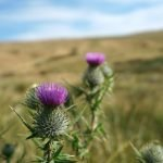 Thistle growing on Pendle Hill www.extraordinarychaos.com