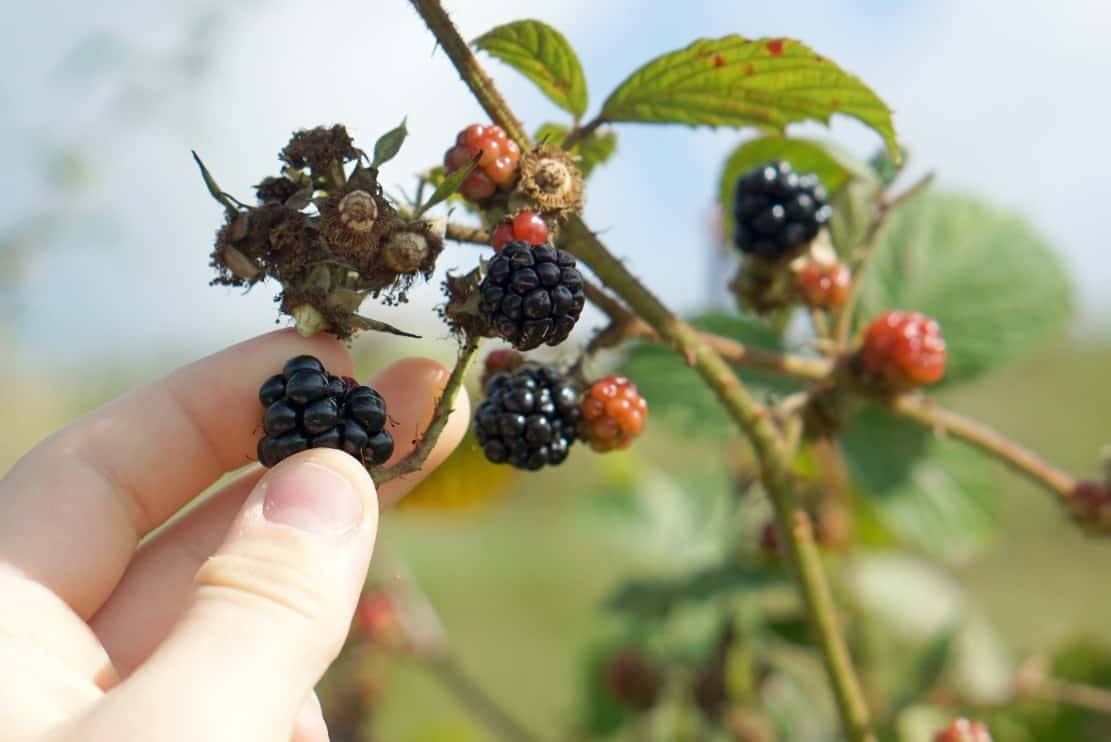 An afternoon picking Blackberries in Lancashire