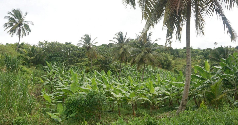 Banana plantations in St Lucia www.extraordinarychaos.com