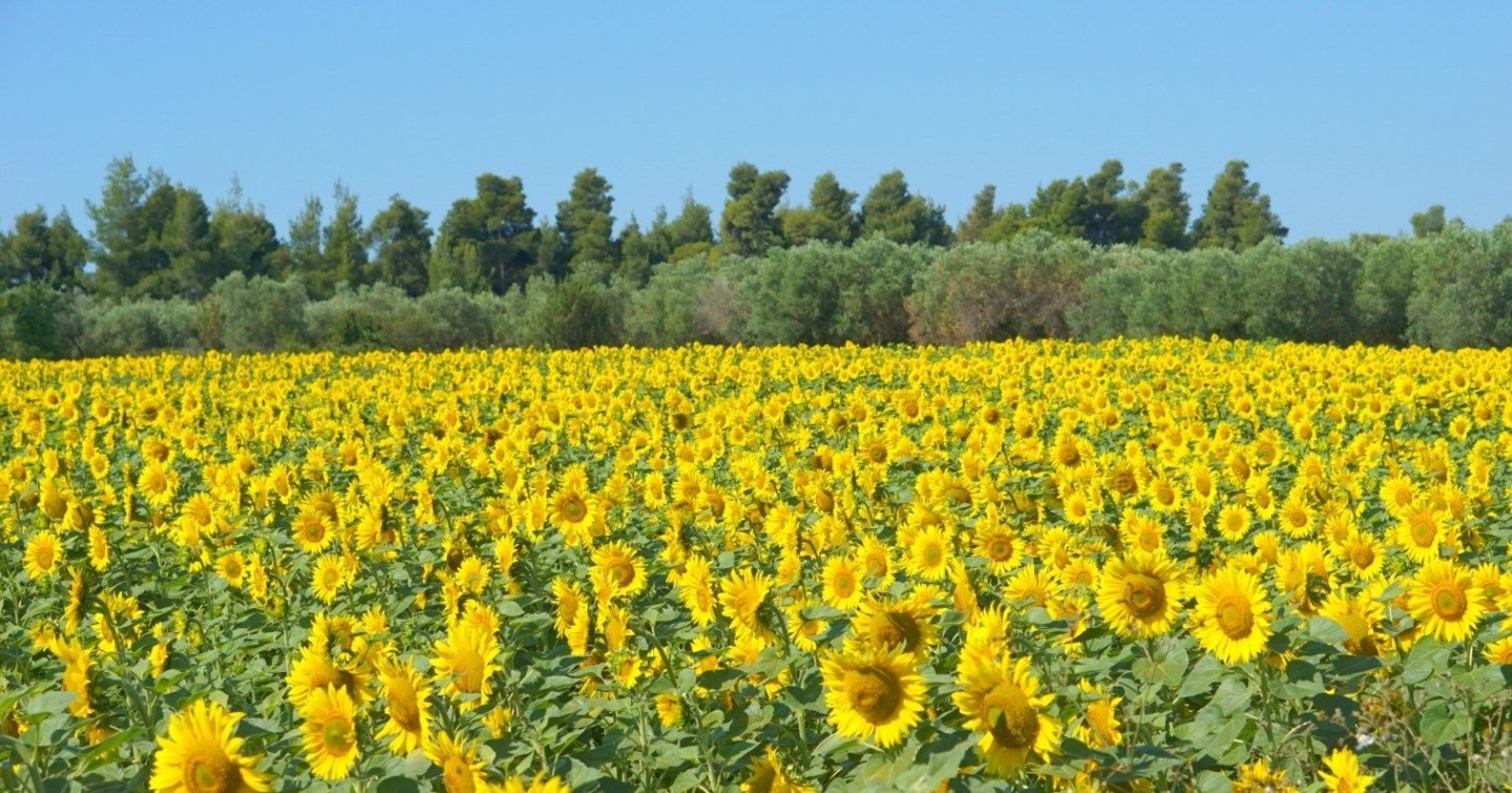 Sunflower-field-in-Halkidiki-Greece.-My-Sunday-Photo-extraordinarychaos.com_
